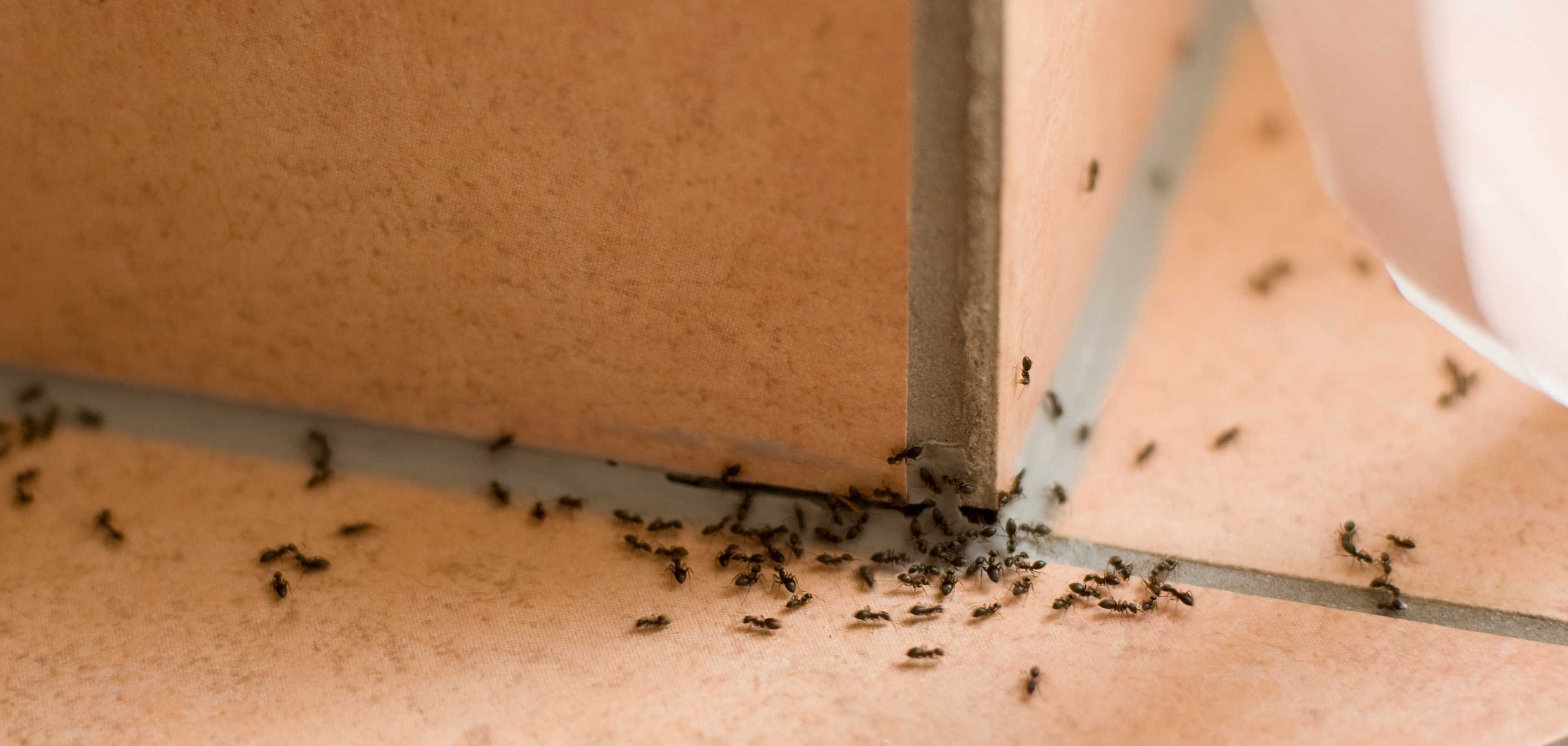 How to Get Rid of Ants - Professional Cleaning Service Springfield MO